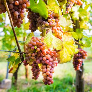 Ripe grapes in fall in Alsace, France