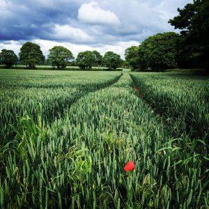 Lone poppy in a green field.